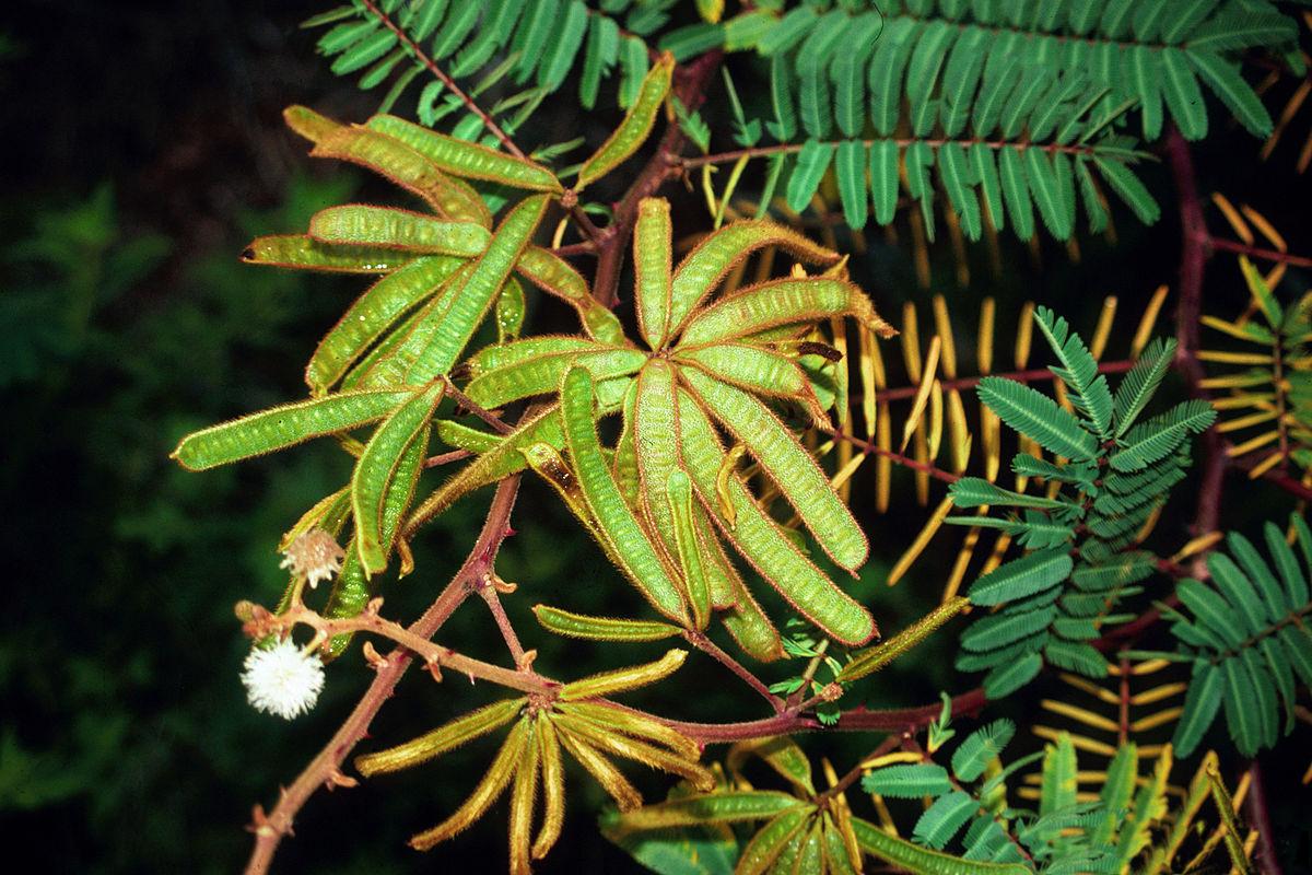 Mimosa Pigra Wikipedia La Enciclopedia Libre