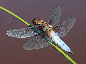 Broad-bodied Chaser (a dragonfly) Libellula de...