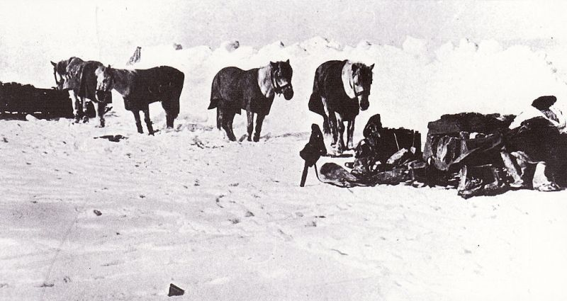 Siberian ponies - Terra Nova Expedition