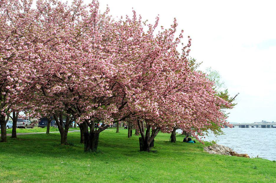 Cherry Blossom trees along a river