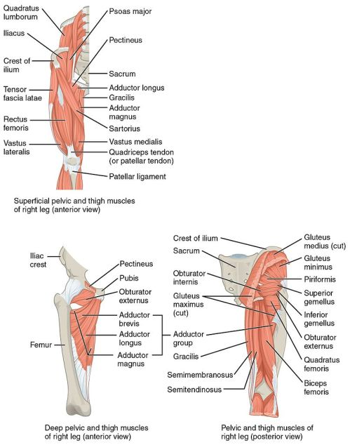 small resolution of file 1122 gluteal muscles that move the femur jpg