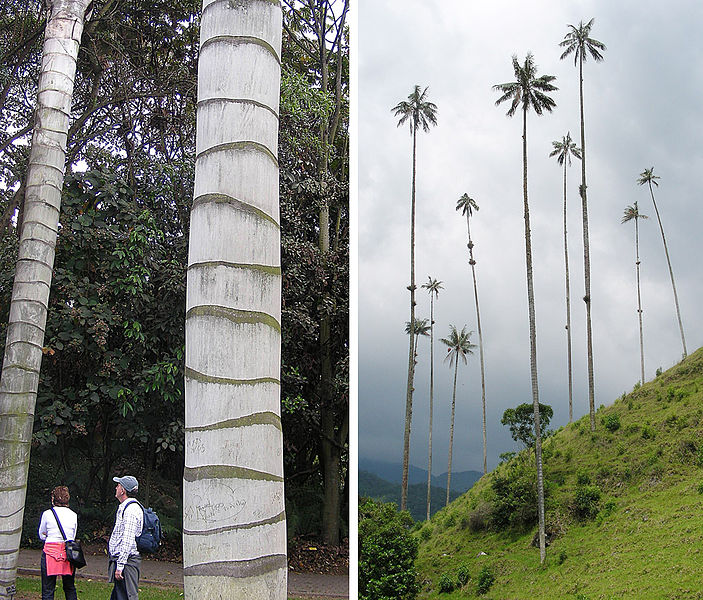 File:Ceroxylon quindiuense, national tree of Columbia (11211245833).jpg