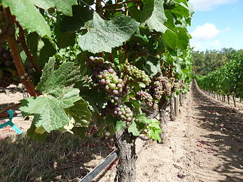 Pinot cluster in the Oregon Willamette Valley ...