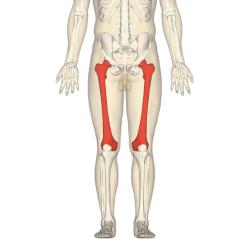 medial lower leg muscles diagram jayco eagle trailer wiring femur wikipedia