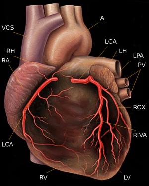 heart with coronary arteries