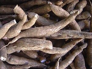 Cassava (yuca) roots, the Taínos' main crop