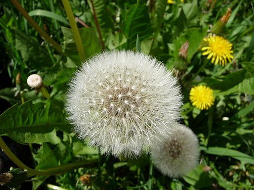 Smetánka lékařská - zralá semena