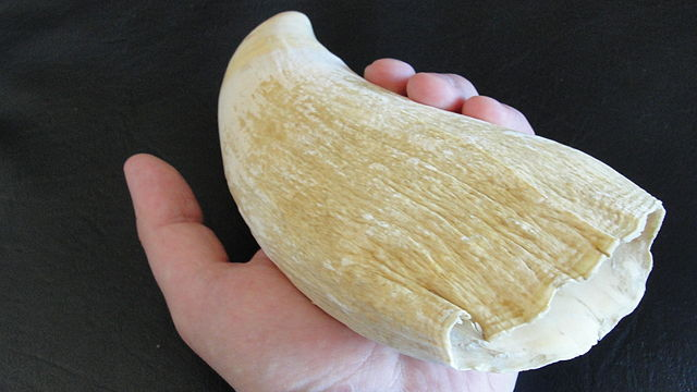 Tooth of a Sperm Whale in a Hand by Lord Mountbatten