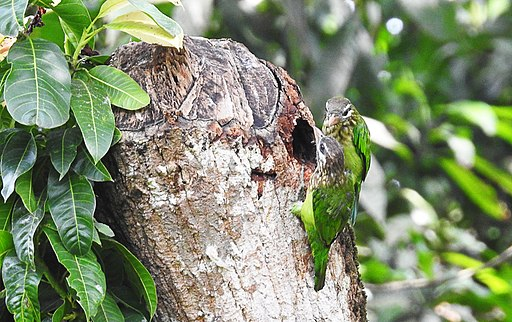 White-cheeked barbet pair by Krishnakumar