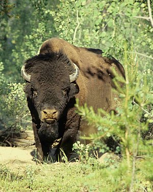 Wood Bison in Wood Buffalo National Park