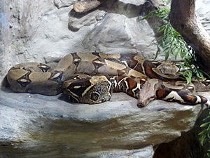 Boa constrictor, Terra Fauna exibition in shop...