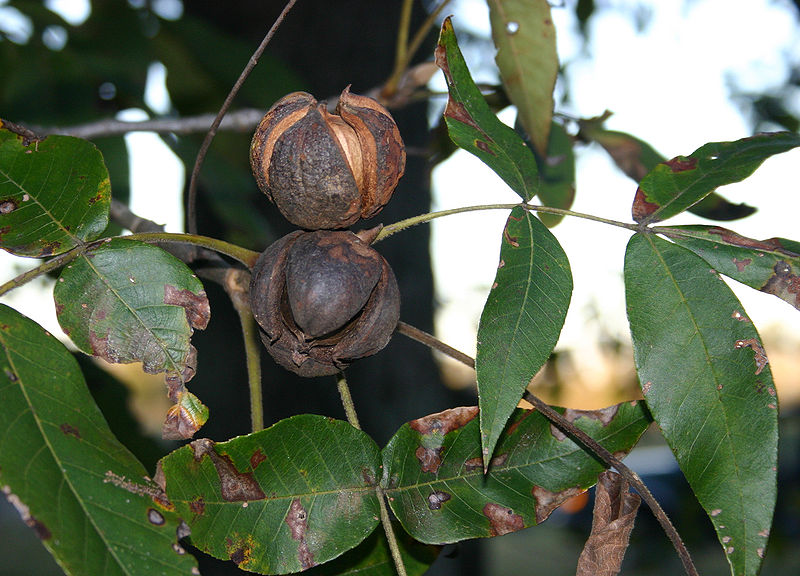 File:Hickory nuts 6060.JPG