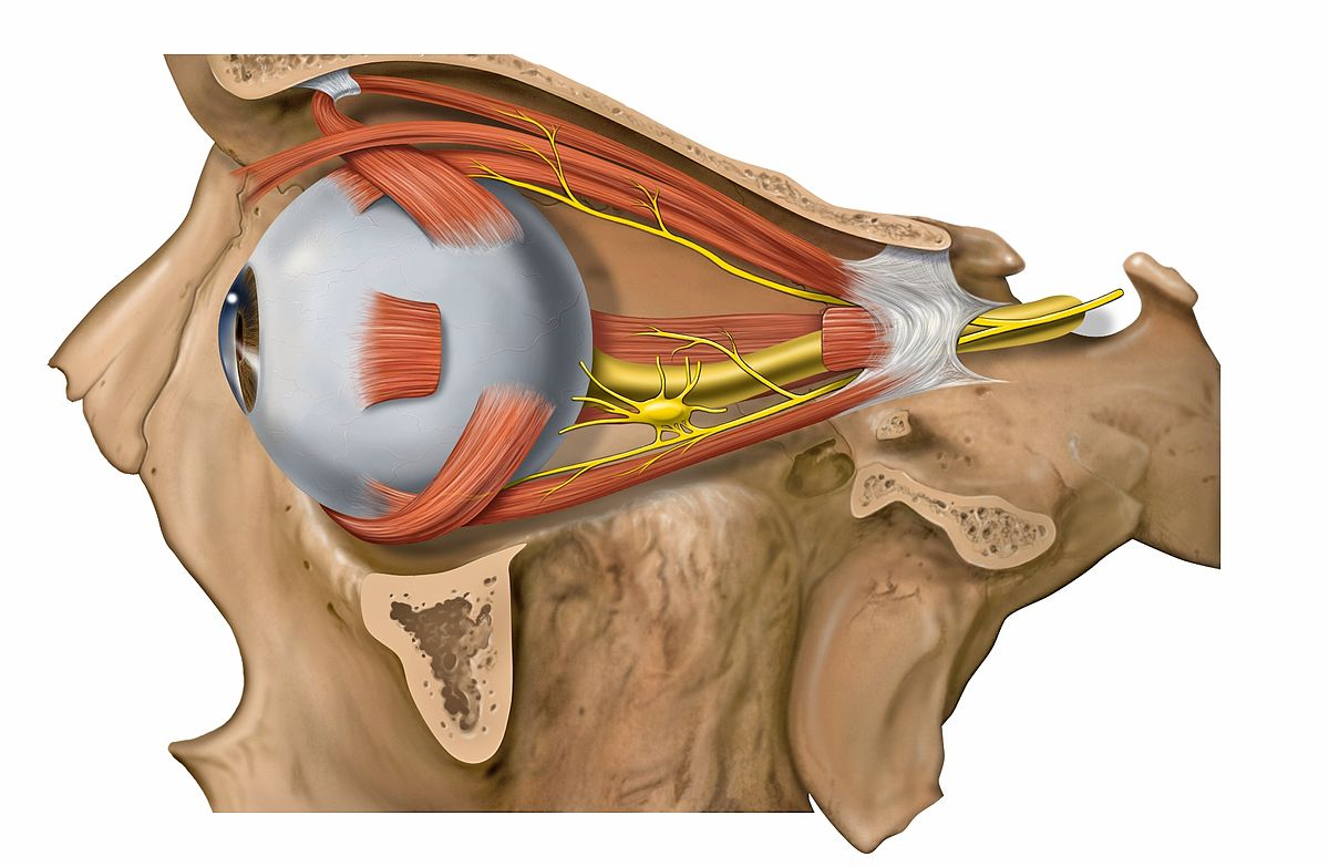 eye muscles diagram heil microphone wiring extraocular wikipedia