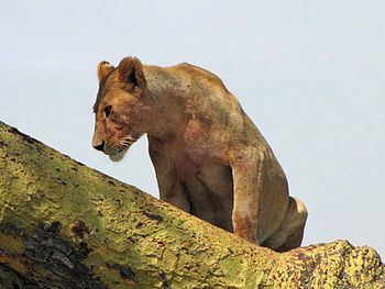 English: Female Lion (Panthera leo), resting i...