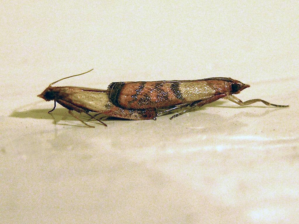 Mating Pantry Moths