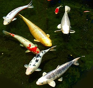 Six different colored koi and a smaller goldfish.
