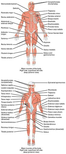 human skeleton and muscles diagram where are the intermediates transition states in this musculoskeletal system wikipedia on anterior posterior views of muscular above superficial those at surface shown right side body while