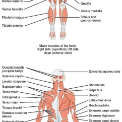 Names Of Bones In Human Skeleton Diagram Av Cable Wiring List Skeletal Muscles The Body Wikipedia 1105 Anterior And Posterior Views Jpg