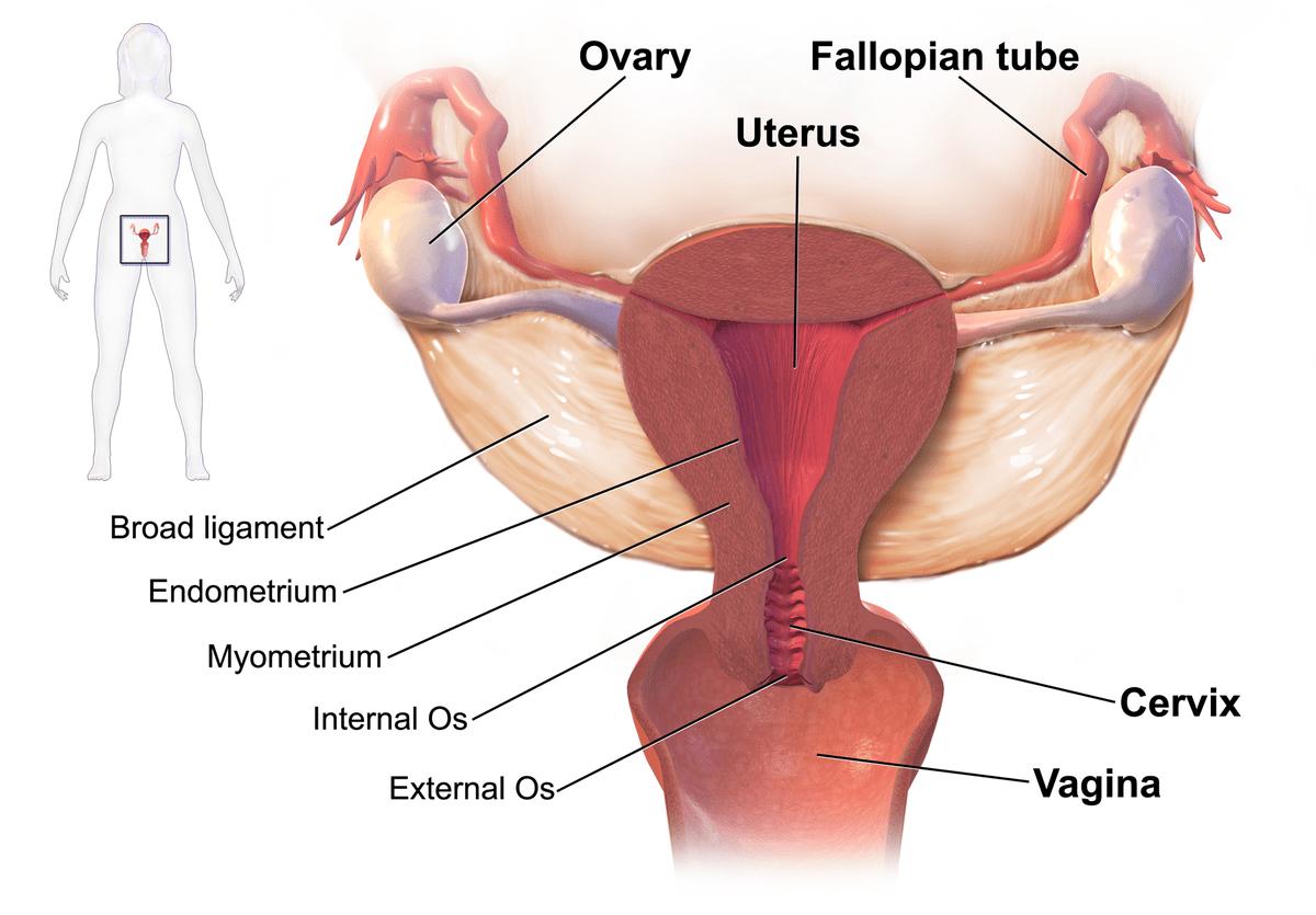 hight resolution of diagram lower pelvi