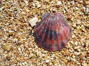 English: The Scallop shell from the Black Sea ...