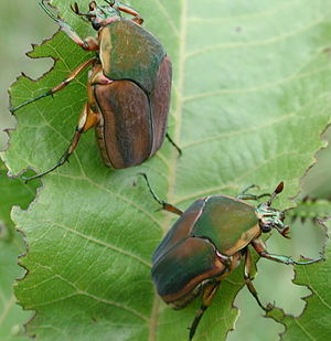 Green june beetle. Author: Stephen Friedt