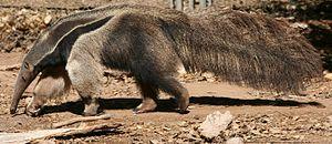 Giant anteater (Myrmecophaga tridactyla). Phot...