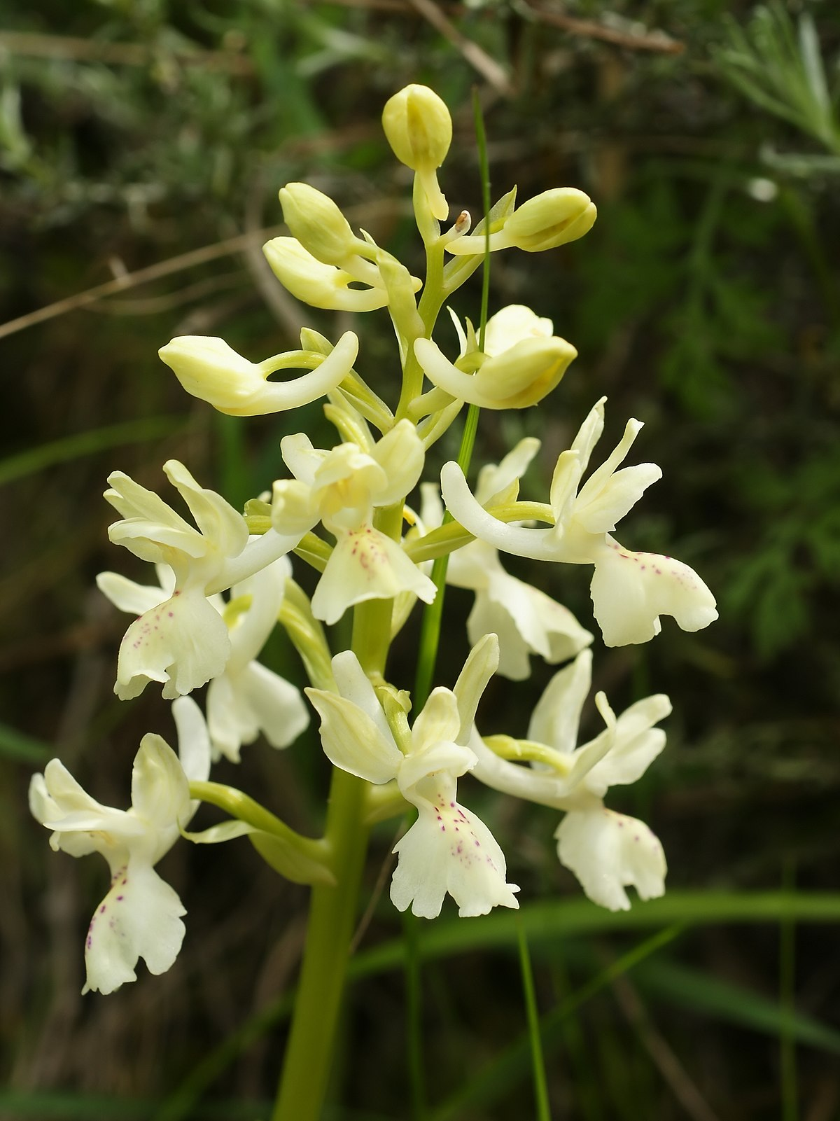 Orchis provincialis  Wikipedia