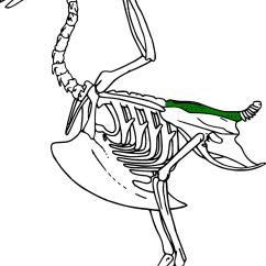 Duck Skeleton Diagram The Third Wish Plot Synsacrum Wikipedia