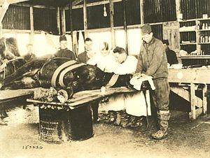 English: World War I photograph of a field vet...