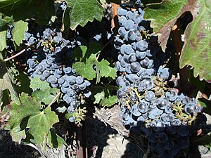 Cabernet grapes growing in the vineyards of th...