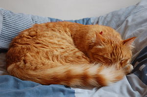 English: Domestic cat sleeping on a bed עברית:...