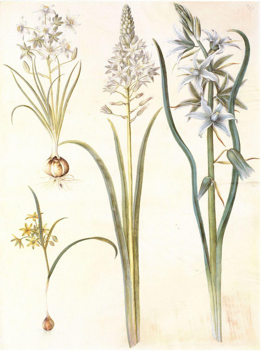 Gc22 ornithogalum umbellatum and nutans