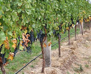 Grape vines and their canopies