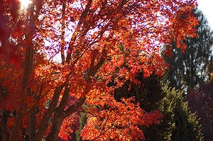 Japanese Maple Acer palmatum Autumn Tree 3008px