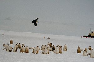 Skua flying over Emperor Penguin chicks, Ross ...