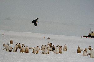 Skua flying over Emperor Penguin chicks, Ross ...