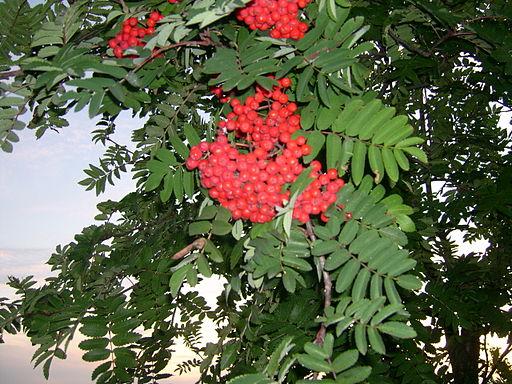 Sorbus americana, Whitefish Island 1
