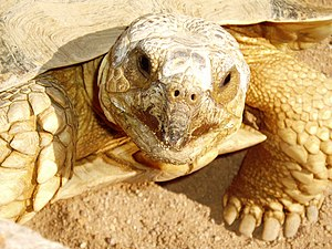 This big fella is a Tortoise; an African Sulca...