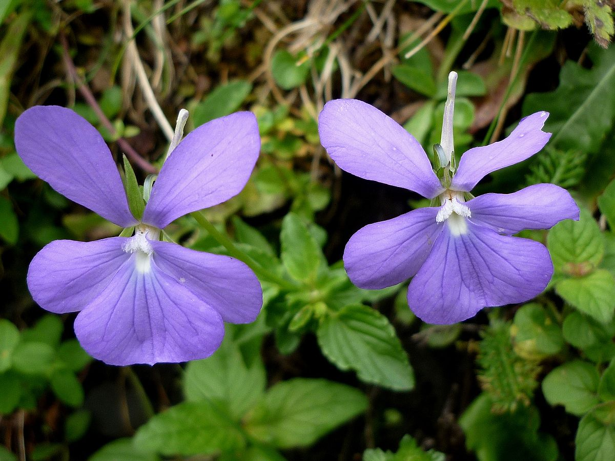 Viola cornuta  Wikimedia Commons