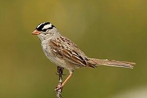 English: White-Crowned Sparrow / (Zonotrichia ...