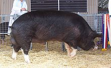 Champion Berkshire boar