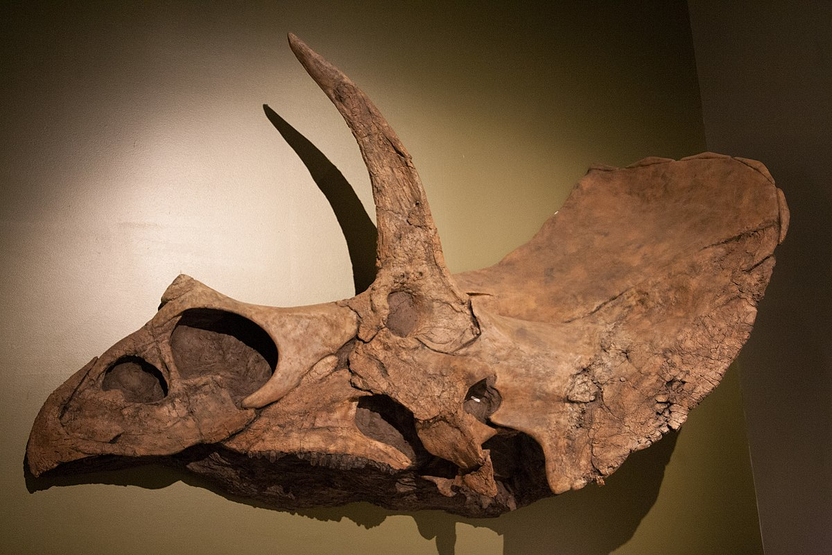 Eotriceratops  Wikipedia