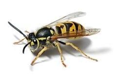 European Wasp on a white background. Specimen ...