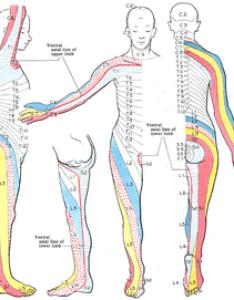 Dermatome anatomy also wikipedia rh enpedia