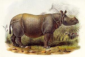 Female Indian Javan rhino (Rhinoceros sondaicu...