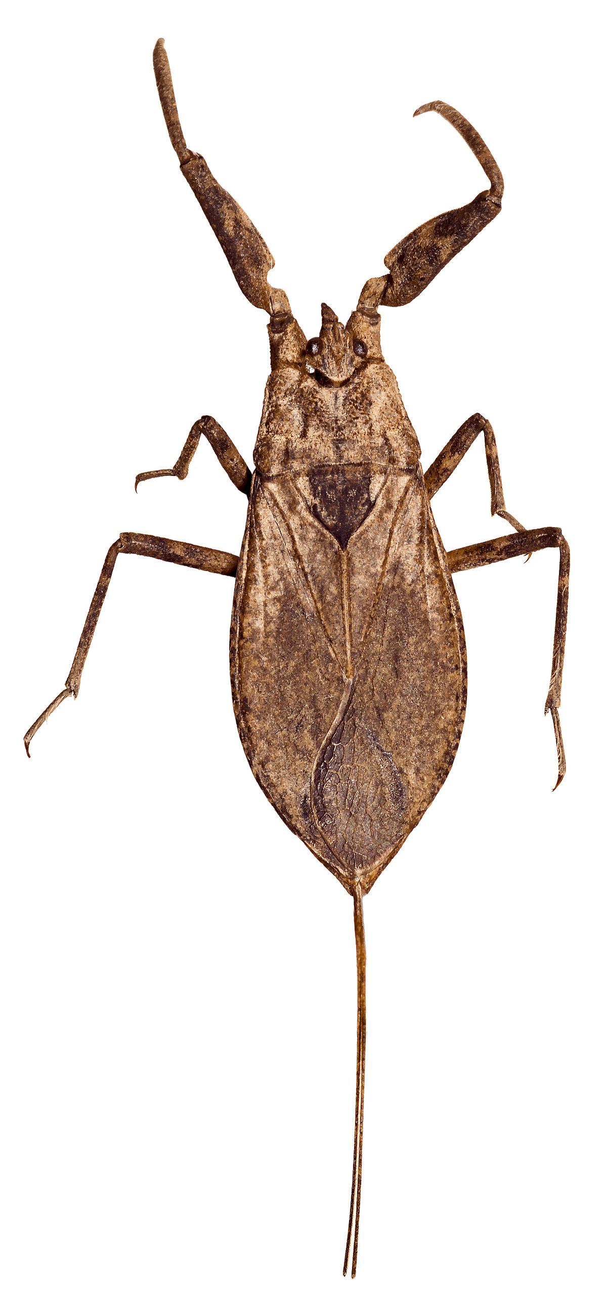 scorpion deau  Wiktionnaire