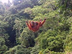 Orang-Utan In Bukit Lawang, Nord Sumatra