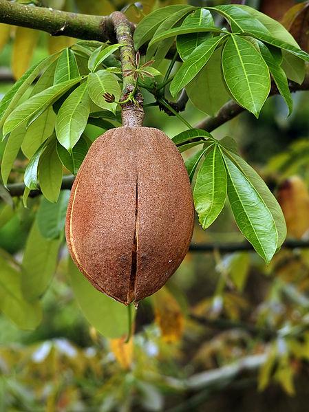 File:Pachira aquatica (fruit) edit1.jpg