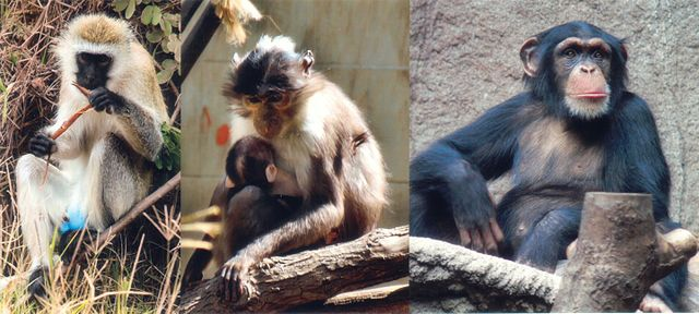 https://i0.wp.com/upload.wikimedia.org/wikipedia/commons/thumb/9/93/SIV_primates.jpg/640px-SIV_primates.jpg