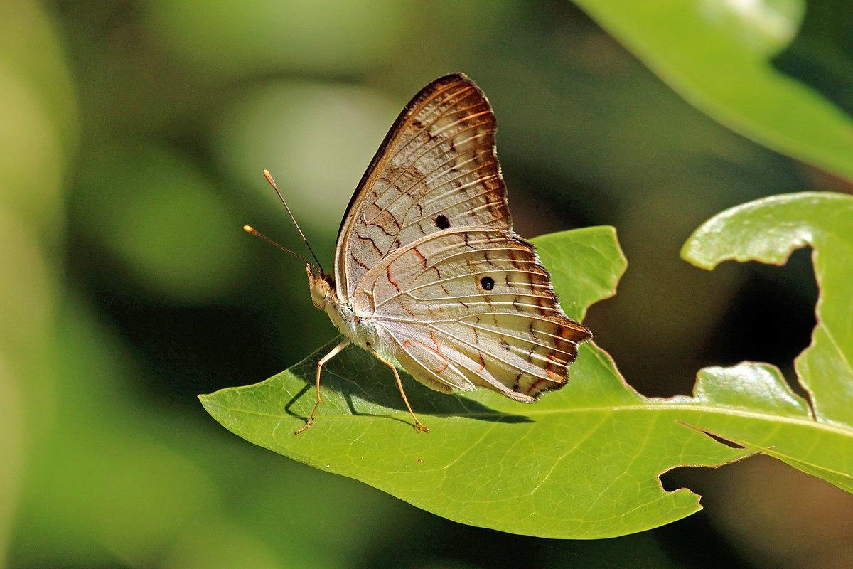 Anartia Jatrophae Wikipedia